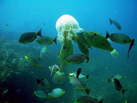 Scribbled filefish, rabbit fish and an odd bannerfish con... by Dawn Watson