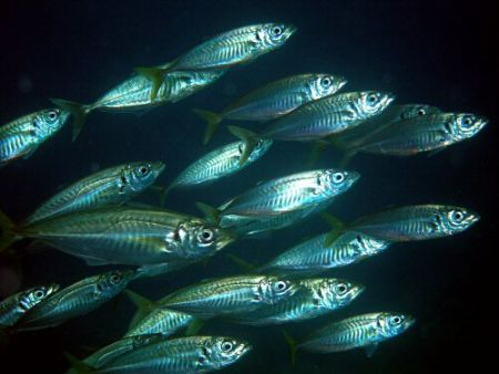 Close up on part of a school of bait fish off Gozo, using... by Rob Spray