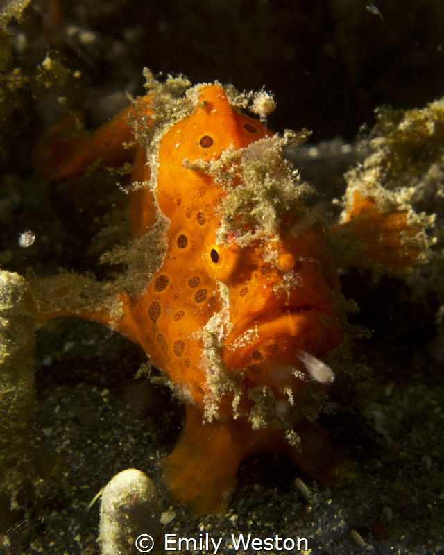 Frogfish by Emily Weston