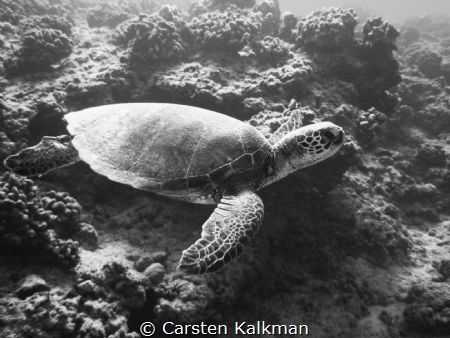 Green Turtle cuising the reef, Maunalua Bay, Oahu Hawaii by Carsten Kalkman