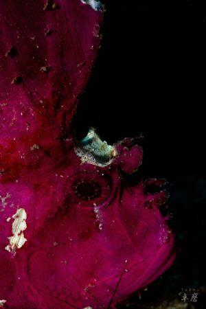 Purple leaf scorpionfish, Taenianotus triacanthus - Mayotte by Takma Lherminier