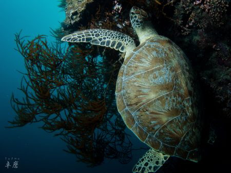 Resting turtle - Mayotte by Takma Lherminier