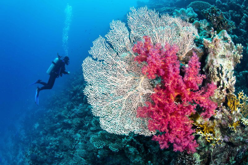 Gorgonian fan, soft coral & diver by Paul Colley