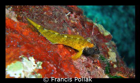 Tripterygion delaisi - Coral Bay, Pistol Bay- 10m. by Francis Pollak