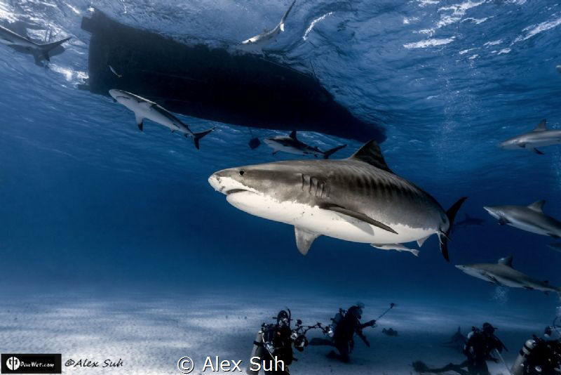Tiger Shark Coming At You From Above by Alex Suh