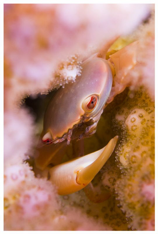 Tiny coral crab by Paul Colley