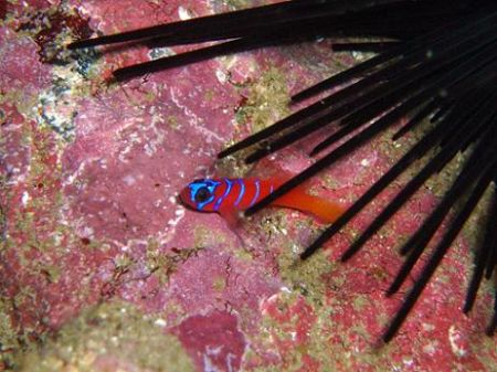Blue banded goby seeking protection from a sea urchin. Ca... by Dallas Poore