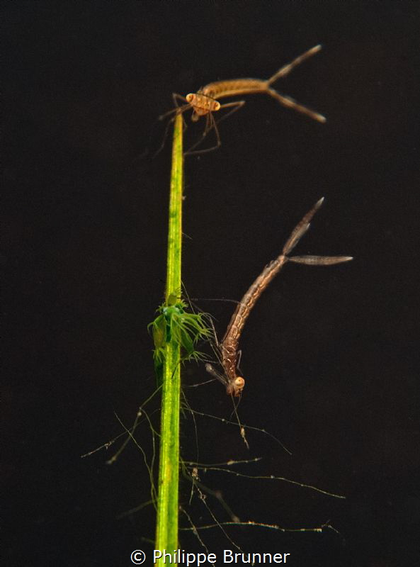 Dragonfly larva, hydras on a small grass inside a tempora... by Philippe Brunner