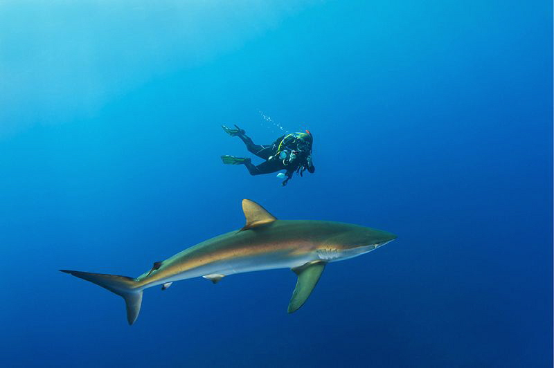 Silky shark & diver by Paul Colley