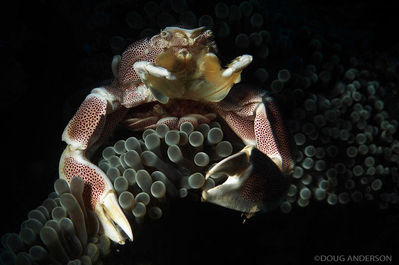 Porcelain Crab, Amed by Doug Anderson