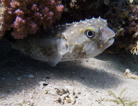 Porcupine Fish. A Lucky shot as I was swimming along. My ... by Alexandra Caine