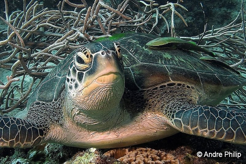 """""""Green Turtle with escort"""" by Andre Philip"""