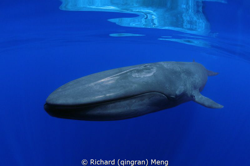 Big Blue Close Encounter / So really lucky to meet this o... by Richard (qingran) Meng
