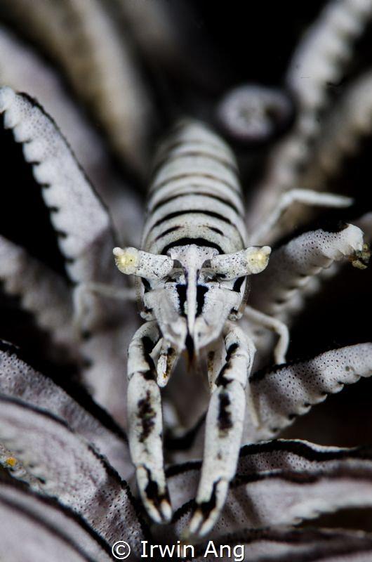 B & W Crinoid shrimp (Hippolytidae) Anilao, Philippines... by Irwin Ang