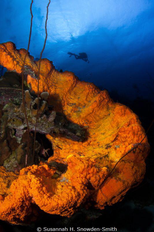 Elephant ear sponge and diver, Bonaire NA. (The sponge a... by Susannah H. Snowden-Smith