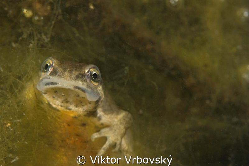 Smooth (Common) Newt (Lissotriton vulgaris) - female by Viktor Vrbovský