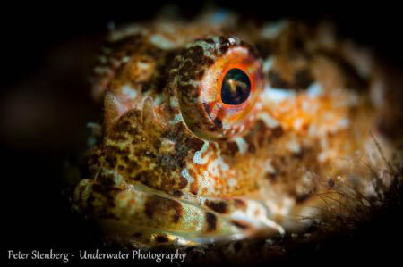 Portrait of a Scorpionfish by Peter Stenberg