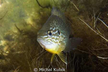 Pumpkinseed (Lepomis gibbosus) by Michal Kubík