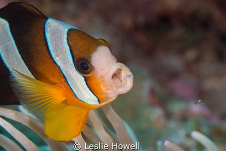 Clark Anemonefish. f11 / 1/1125 - 105mm  by Leslie Howell