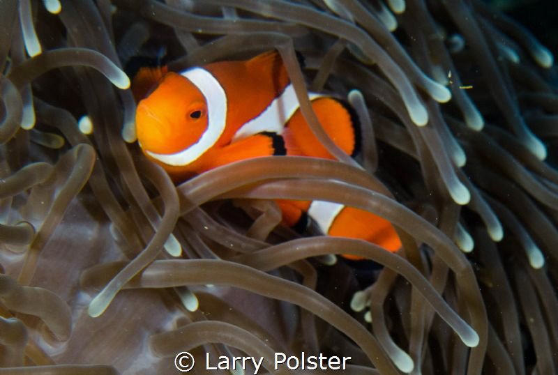 Clown fish everywhere by Larry Polster