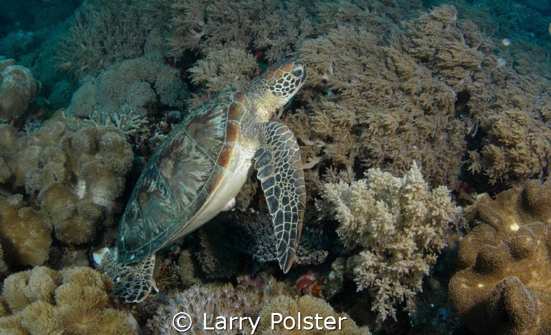 So many Green Turtles in the Cebu waters by Larry Polster