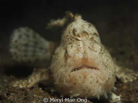 White hairy frogfish in the resort house reef. by Meryl Mae Ong
