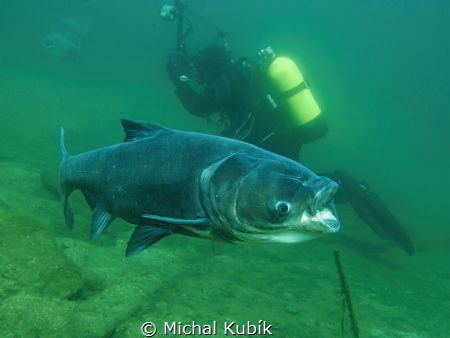 Big Head carp