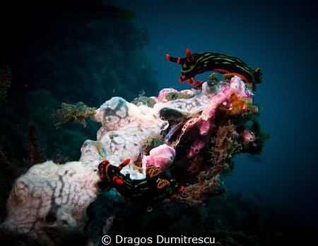 Looking for Love? Two Nembrotha Kubaryana searching for e... by Dragos Dumitrescu