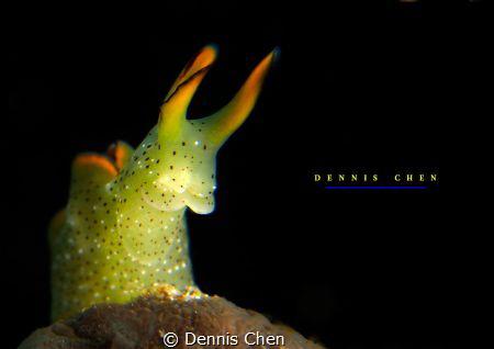 Elysia ornata by Dennis Chen
