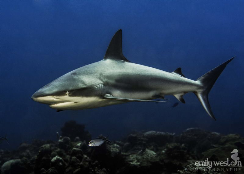 One of the Caribbean Reef sharks that frequent the reef o... by Emily Weston