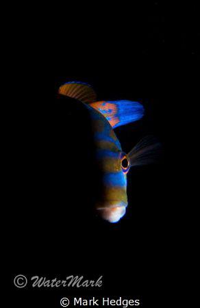 Cuckoo Wrasse half lit , at Porthkerris Cornwall by Mark Hedges