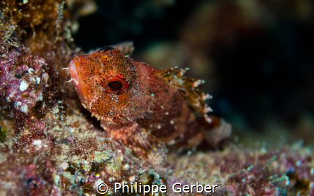 scorpionfish canary island by Philippe Gerber