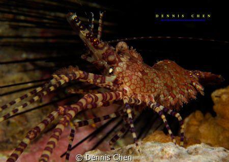 Marbled shrimp - Saron marmoratus_ by Dennis Chen