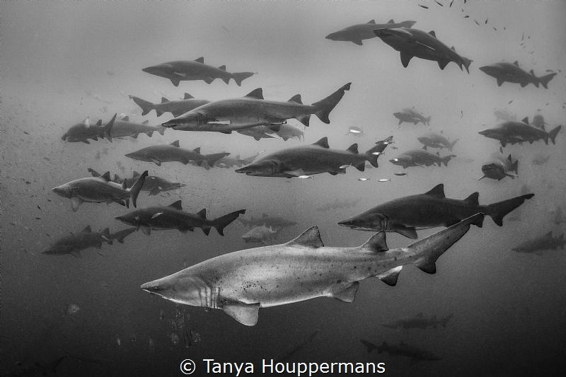 Shadow Sharks