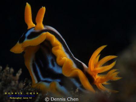 Chromodoris magnifica by Dennis Chen