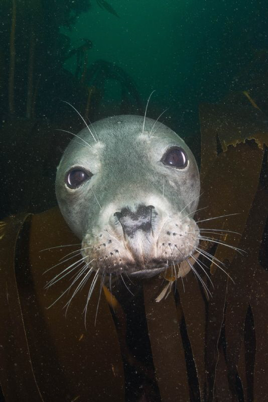 Grey Seal Portrait - Sigma 15mm  + TC 1.4 by Spencer Burrows