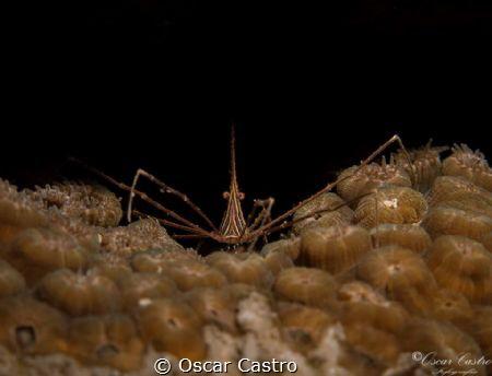 Arrow shrimp, Veracruz Mexico by Oscar Castro