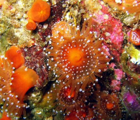 Jewel anemone off the Southern coast of the UK, I think i... by Dawn Watson