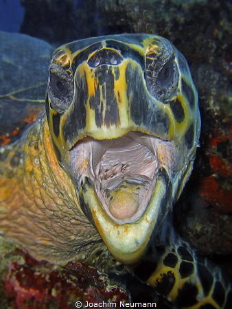 Screaming turtle by Joachim Neumann