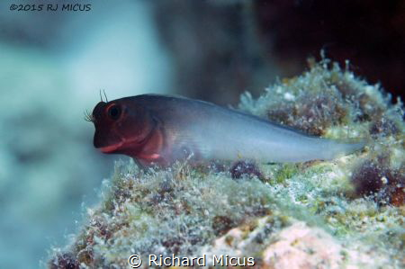 Cutie Pie - Redlip Blenny by Richard Micus