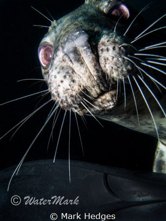 close up seal Lundy Island. by Mark Hedges