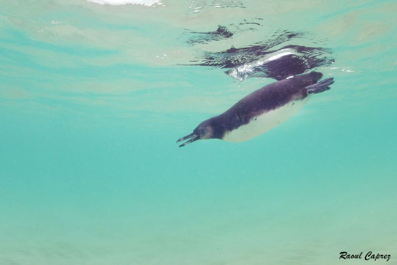 Galapagos penguin by Raoul Caprez