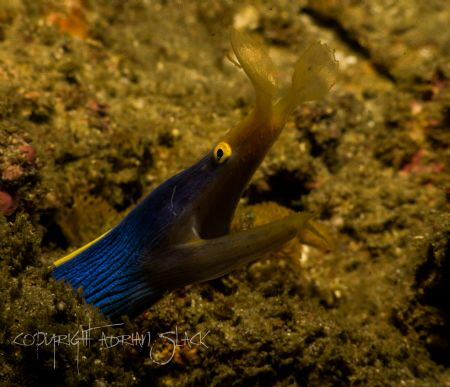 The illusive ribbon eel close up... At last! by Adrian Slack