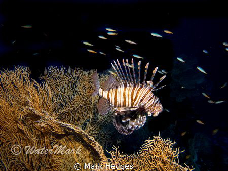 Lion Fish Fan Coral , by Mark Hedges