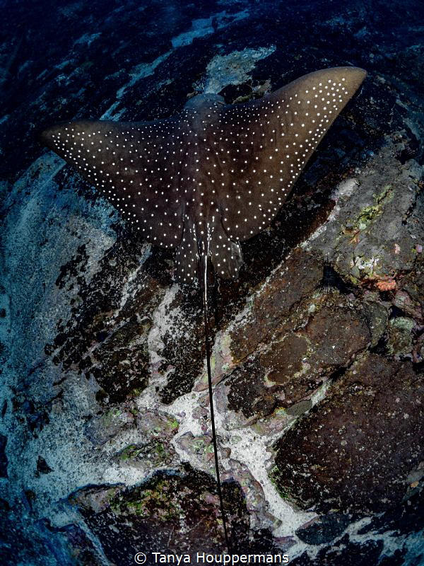 Low Fly-By A spotted eagle ray soars just above the sea ... by Tanya Houppermans