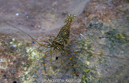 Common Shrimp by Aksems Kuzucu