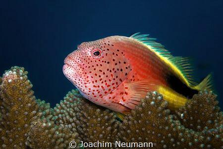 Hawkfish by Joachim Neumann