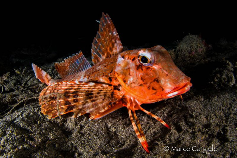 Red Mediterranean Gurnard, night dive by Marco Gargiulo