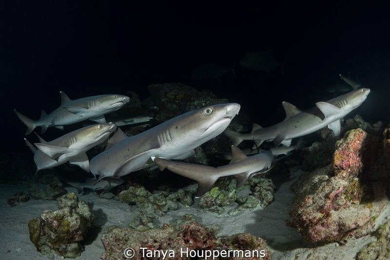 Let's Go This Way! A group of whitetip reef sharks durin... by Tanya Houppermans