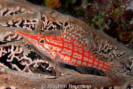 Longnose Hawkfish by Joachim Neumann